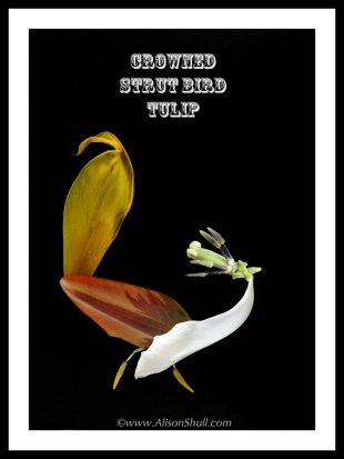 Crowned Strut Bird Tulip -Flower Sculpture Photography by Alison