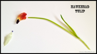 Hawk Head Tulip - Flower Sculpture Photography by Alison Shull