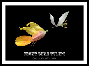 Night Gnat Tulips - Flower Sculpture Photography by Alison Shull