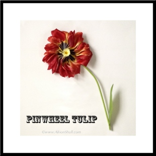 Pinwheel Tulip, imaginary flower - Flower Sculpture Photography by Alison Shull