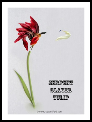Serpent Slayer Tulip - Flower Sculpture Photography by Alison Shull